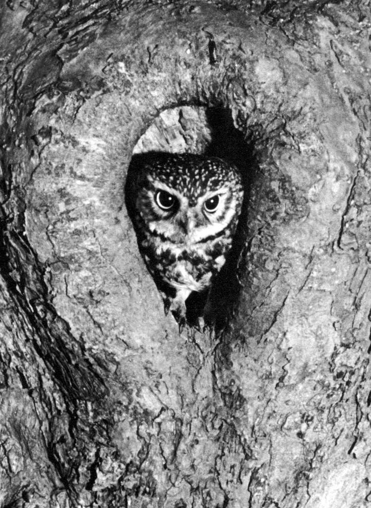 Little Owl leaving nest cropped