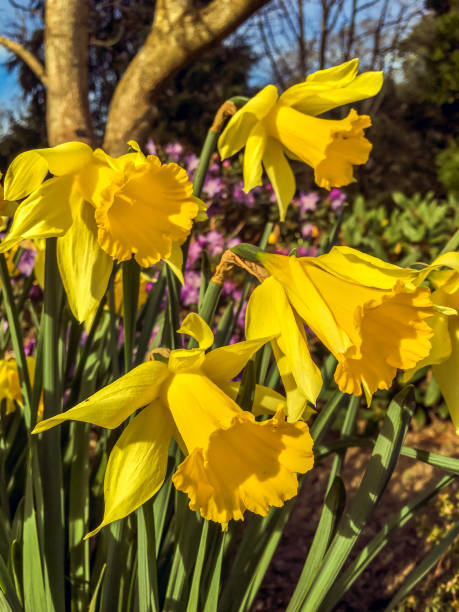 Close up view of Spring daffodils.